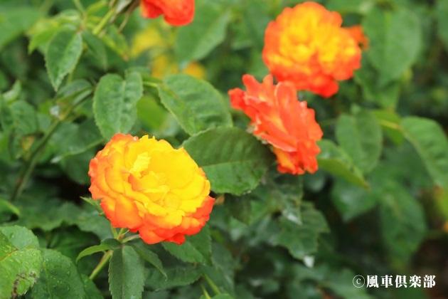 gardening_4181.JPG